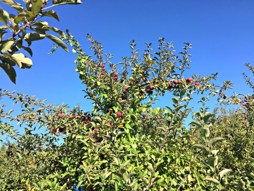 Apple picking at Shelburne Farms
